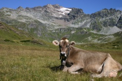 Bruna Alpina