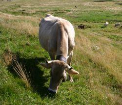 Vacca bruna italiana